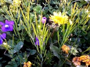 1-dandygrass